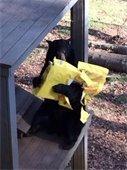 Bear Hollow zoo bear opening a gift