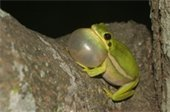 green tree frog blowing an air bubble