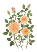 Print of pink roses