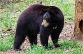 Picture of one of the bears at Bear Hollow Zoo