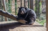 bear at Bear Hollow Zoo
