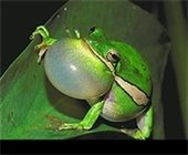 green frog blowing a big air bubble with it's throat