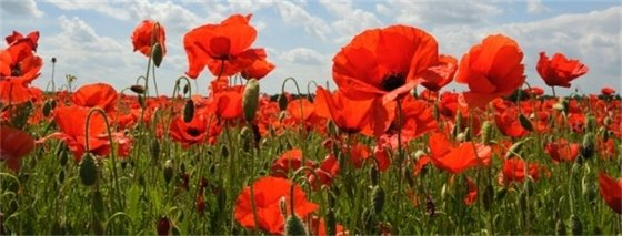 photo of red poppies in a sunny field