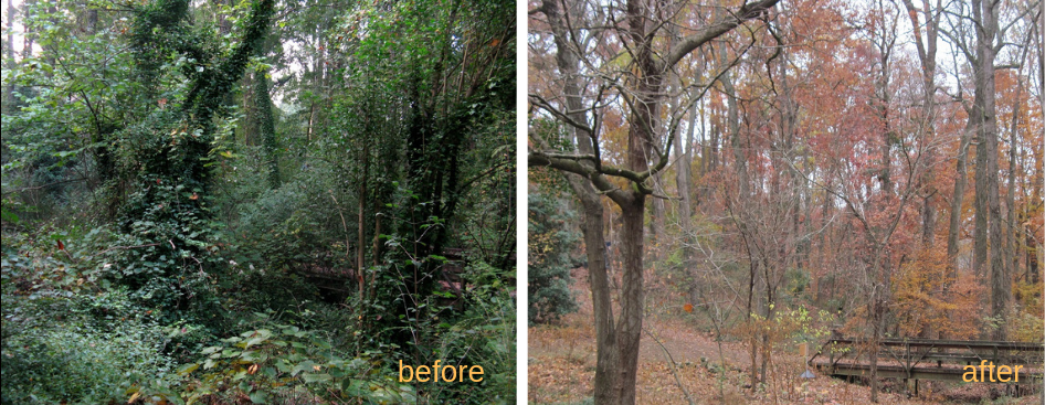 before and after showing increased visibility after clearing invasives