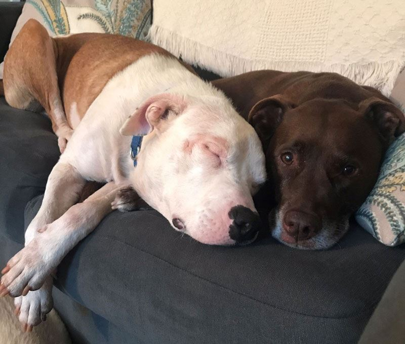 Two dogs snuggled together on a couch