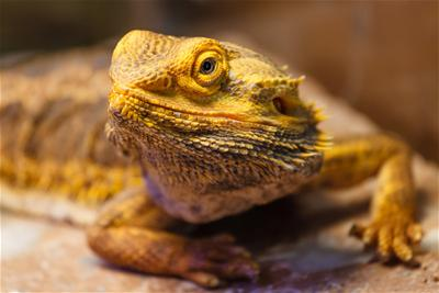 Bearded Dragon Image