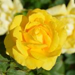 yellow-rose-196393_960_720.jpg