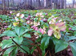 lenten rose_thumb.jpg